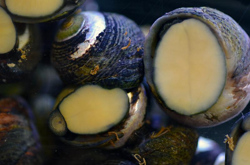 Margarita Snail, Each