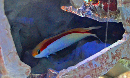 Red Skunk Tilefish