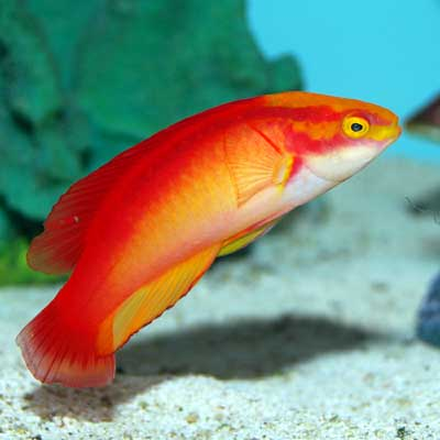 Flame Fairy Wrasse, Male (Hawaii)