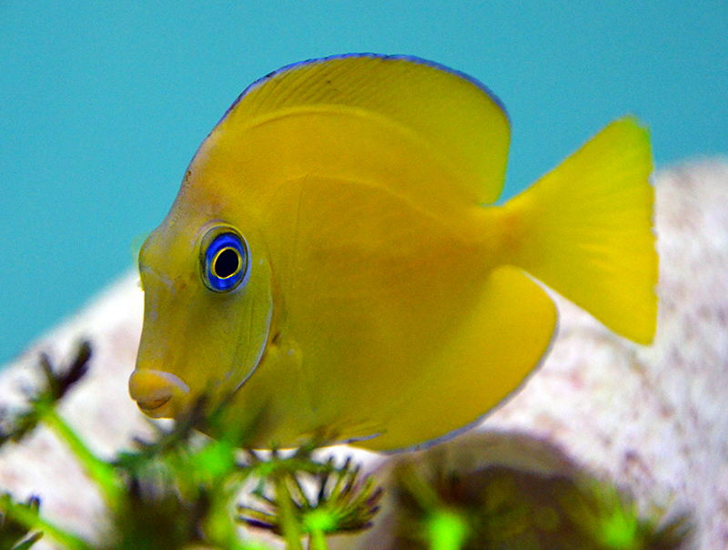 Atlantic Blue Tang - Juvenile