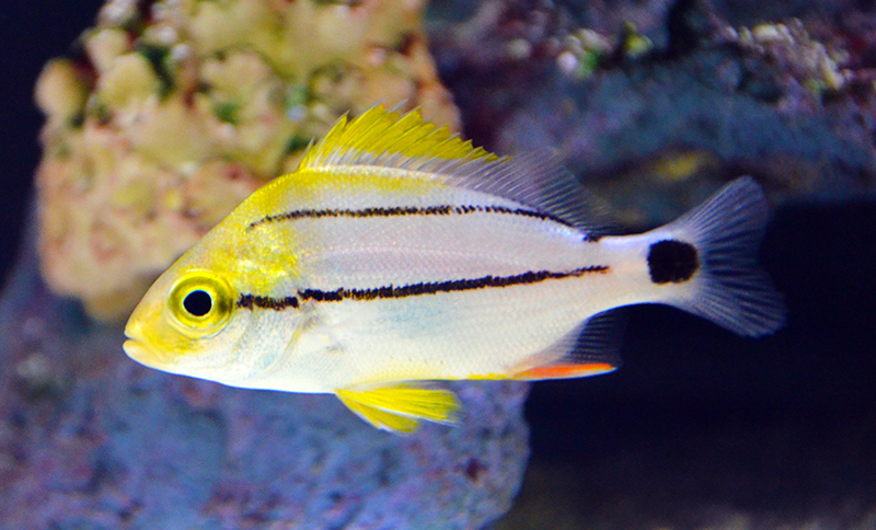 Porkfish, Small