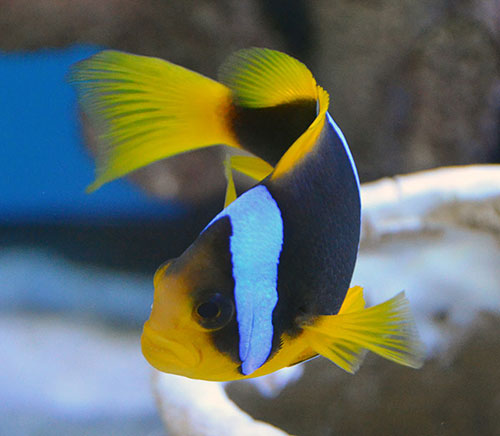 Fiji Orange Fin Clown Pair