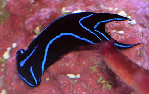 Blue Velvet Flatworm-Eating Nudibranch