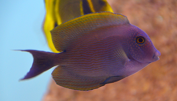 Spotted Blue-Eye Bristletooth Tang