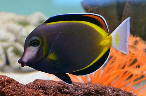 something fishy    aquarium livestock    fish    powder brown lollipop tang  large