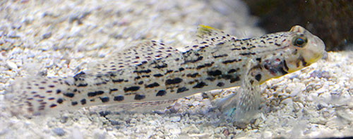 Ornate Goby
