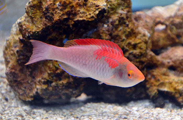 Debelius Decorated Fairy Wrasse