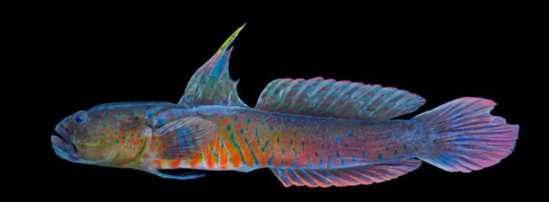 ORA Crested Oyster Goby