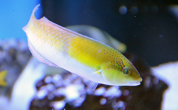 Yellow Head Wrasse