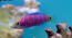 Mystery Wrasse