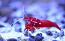 Fire Shrimp