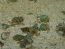 Nassarius Snails - 25 Lot