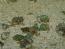 Nassarius Snails - 25 Lot