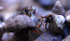 Mexican Red Leg Hermit Crabs - 25 Lot