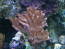 Young Soft Coral