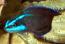 Spingeri Dottyback - Captive Bred