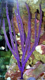 Purple Ribbon Gorgonian