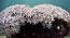 Pipe Organ Tubipora Coral