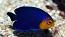 Atlantic Cherub Pygmy Angel