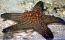 Bali Starfish