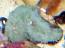 Florida Ricordea Polyp