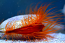 XL Flame Scallop