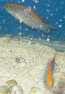 Sunrise Dottyback - Captive Bred