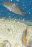 Sunrise Dottyback - Captive Bred