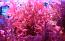 Red Gracilaria Algae