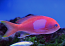 Squarespot Anthias - Male