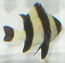 Four Stripe Damsel