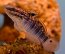 Dragon Goby, Medium