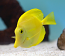 Yellow Tang, Medium