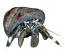 Zebra Hermit Crabs - 25 Lot