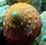 Orange Chestnut Turbo Snail - 10 Lot