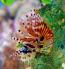 Zebra Lionfish