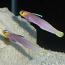 Helfrichi Firefish