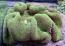 Green Carpet Anemone XL