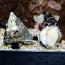 Trochus Snail (White) - 10 Lot