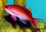 Cooper's Anthias
