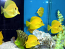 Hawaiian Yellow Tang, Medium