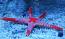 Jewel Starfish