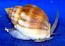 Large Nassarius Snails