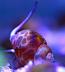 Orange Spotted Sandsifting Snails