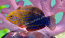 Potters Wrasse, Medium