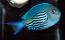 Watanabei Angelfish - Male