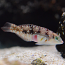 Picture Wrasse