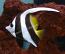 Heniochus Bannerfish - XL