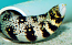 Snowflake Moray Eel - Large