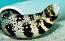 Snowflake Moray Eel - Large